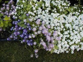 Alyssum_at_edge_of_container